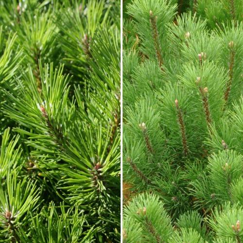 Pinus mugo var. mughus Norðîc® L127 Truust Image