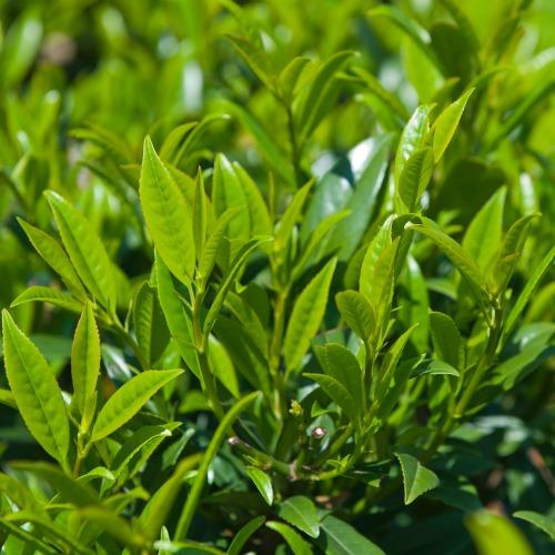 Prunus laurocerasus Norðîc® 'Prufon' Image