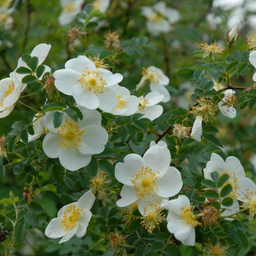 Rosa pimpinellifolia Norðîc® L266 Laugesen Image