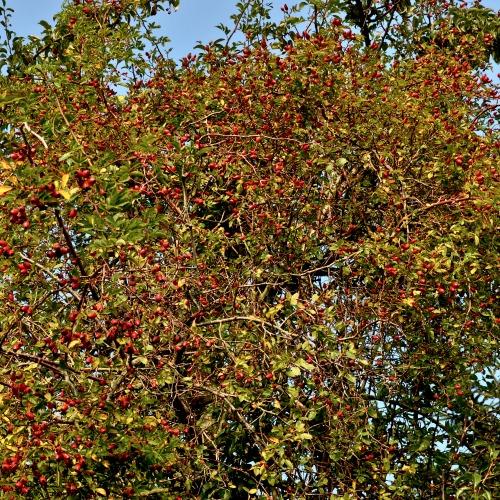 Rosa rubiginosa Norðîc® L014 Truust Image