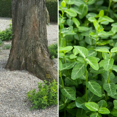 Euonymus vegetus Norðîc® 'Green Choiz' Image