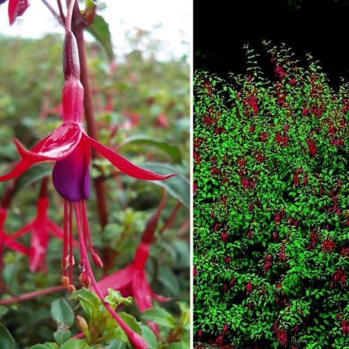 Fuchsia magellanica Norðîc® 'Georg' Image