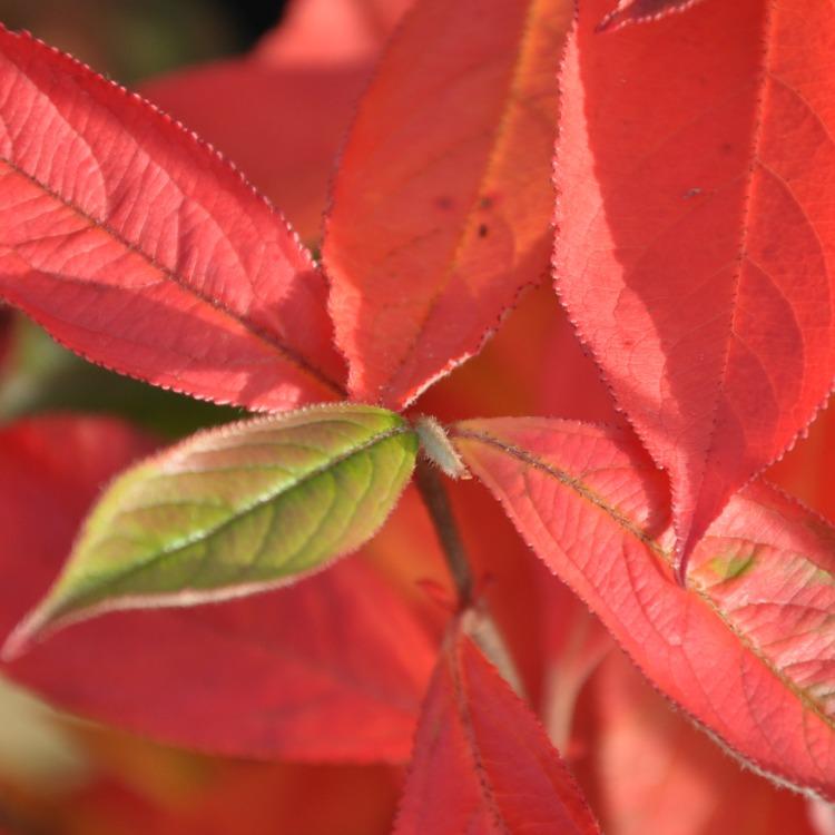 Aronia arbutifolia Norðîc® 'Briliantissima' Image