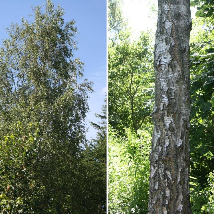 Betula pendula Norðîc® FP644 Truust Image