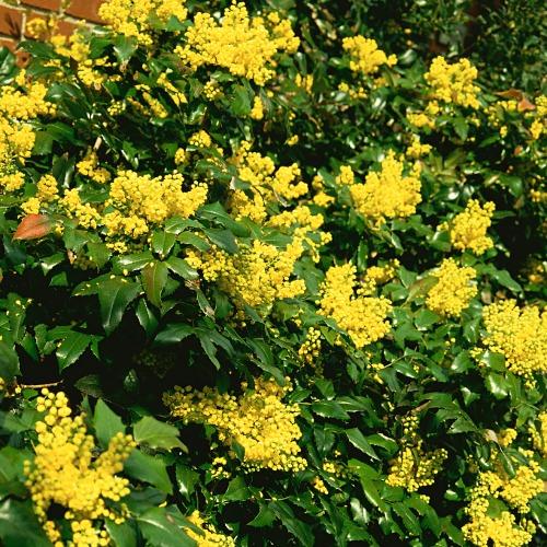 Mahonia aquifolium Norðîc® 'Maqu' Image