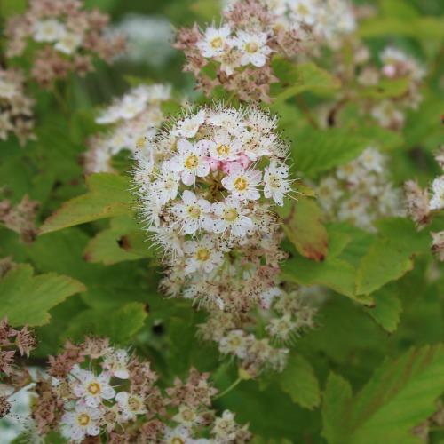 Physocarpus malvaceus Norðîc® 'Pyso' Image