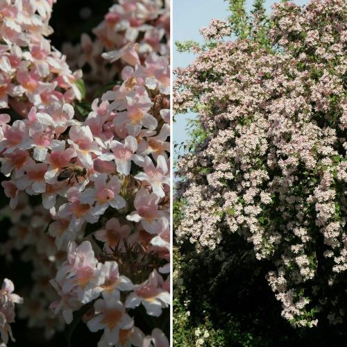 Kolkwitzia amabilis Norðîc® 'Syvdal' Image