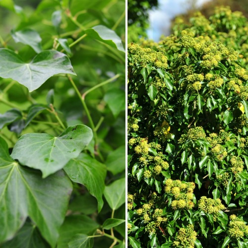 Hedera helix Norðîc® 'Great Choiz