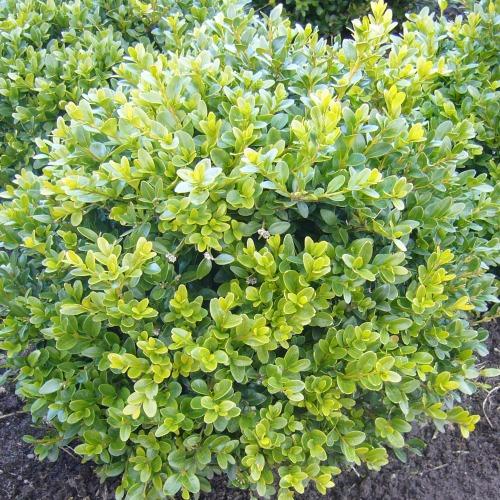 Buxus x 'Glencoe' Norðîc® Chicagoland Green® Image