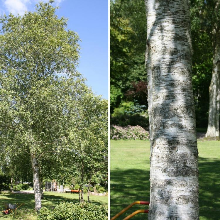 Betula pubescens Norðîc® FP645 Truust Image